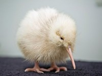 Rare white Kiwi hatches