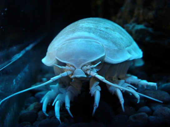 Deep-sea-giant-isopod