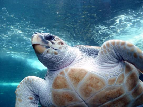 Loggerhead-Turtle