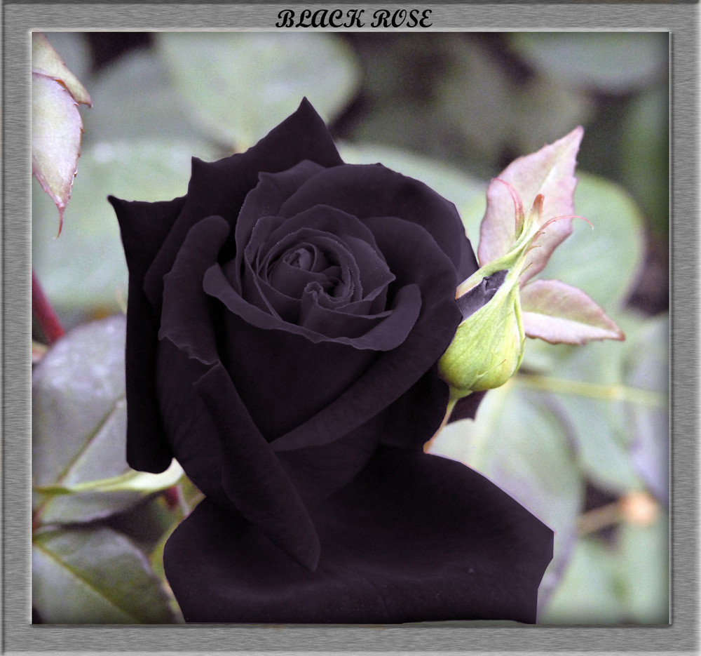 Black rose quotes quotesgram for How to make black roses