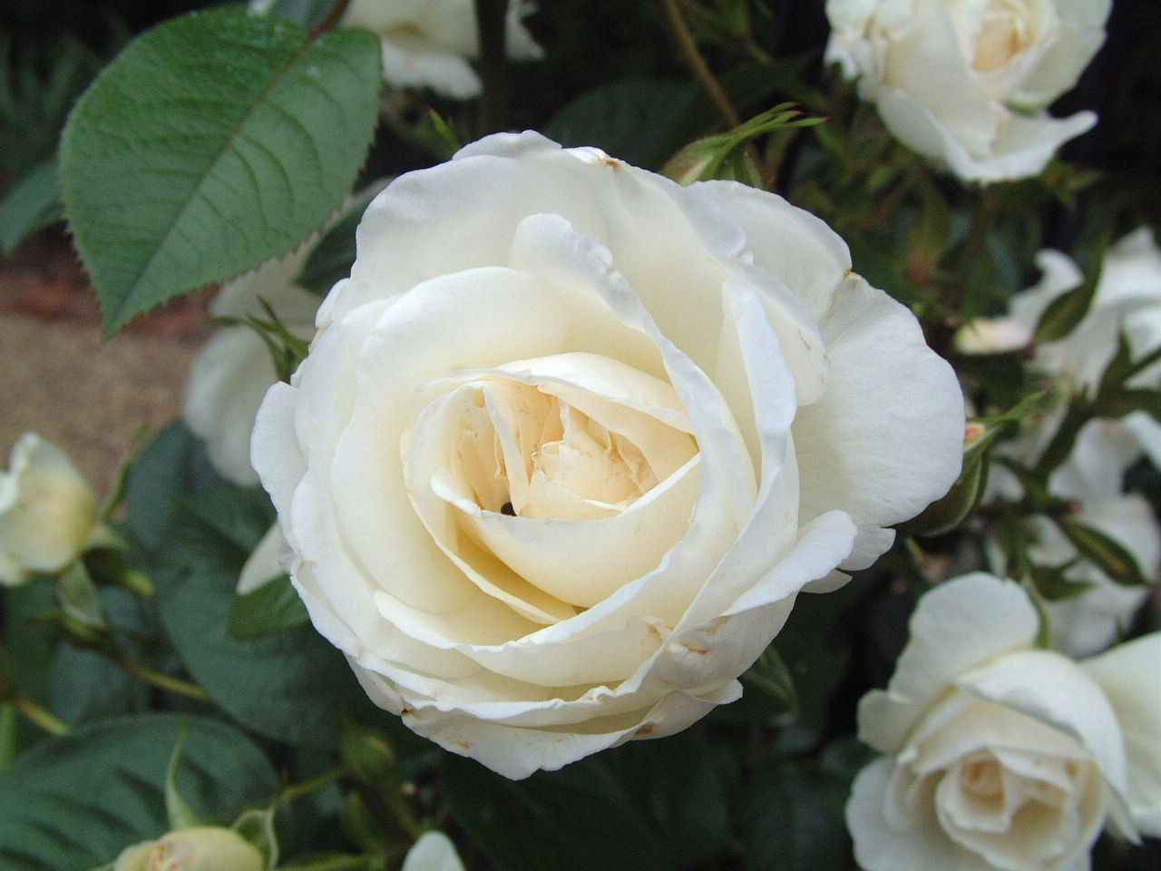 One White Rose perfume of a rose you can