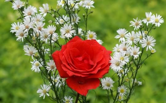 red_rose-540x337.jpg