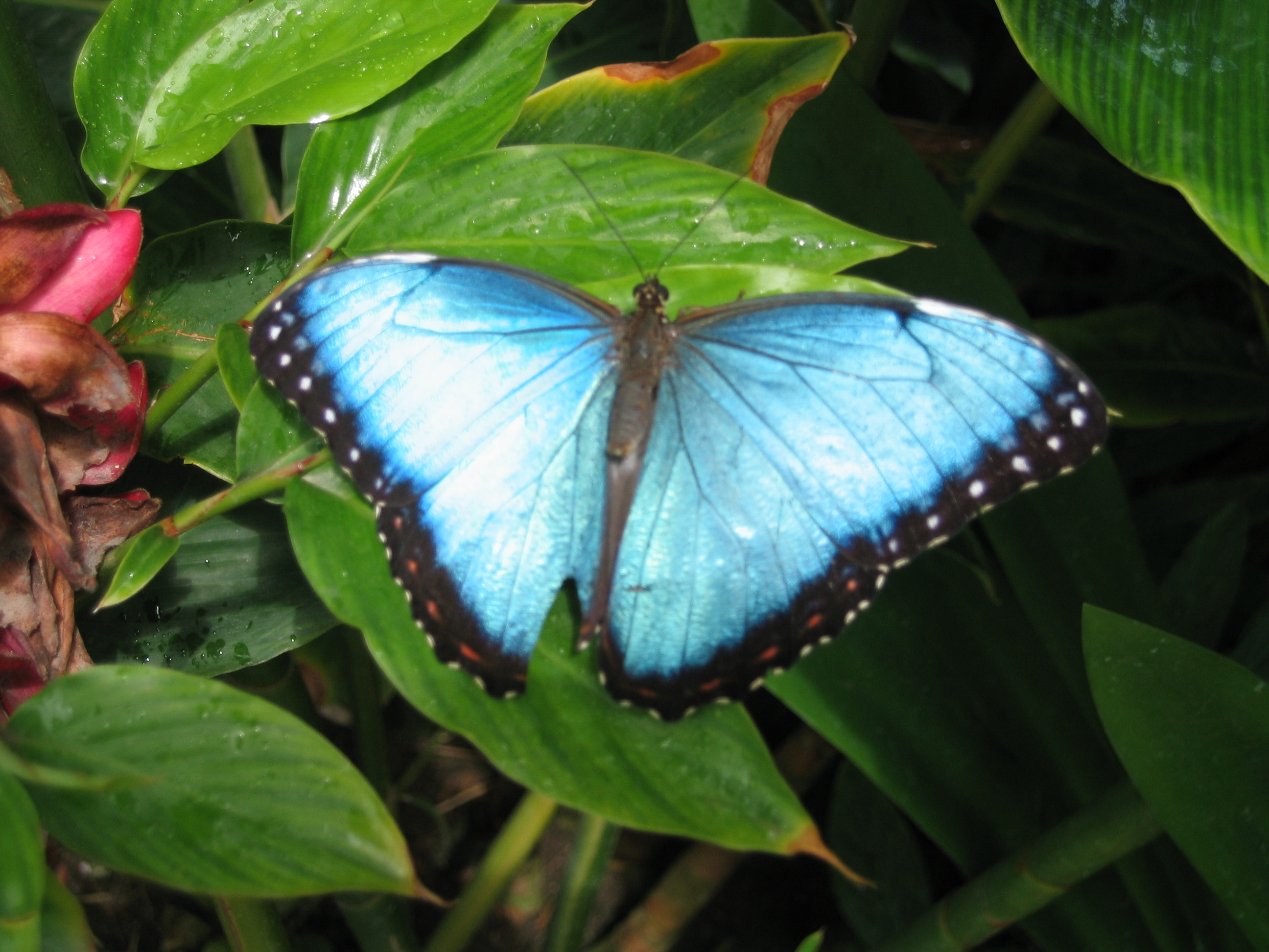 new blue butterfly pictures - photo #30
