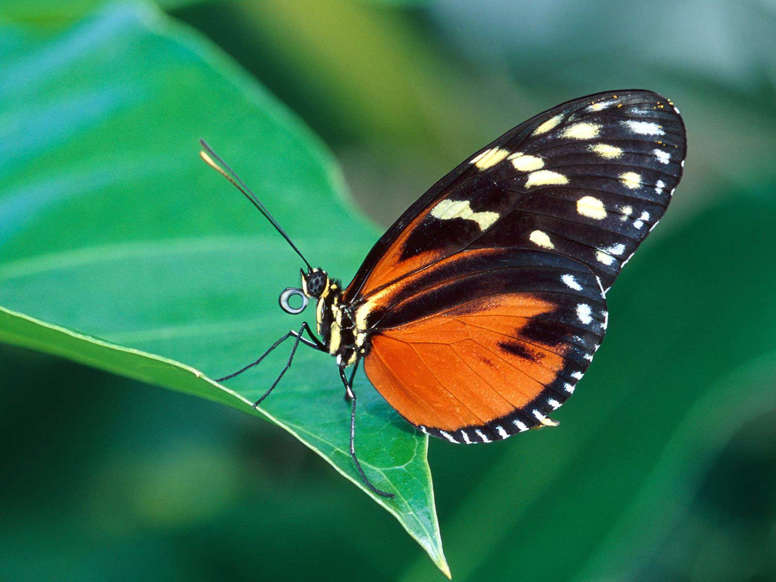 butterfly the most beautiful insect the wondrous pics