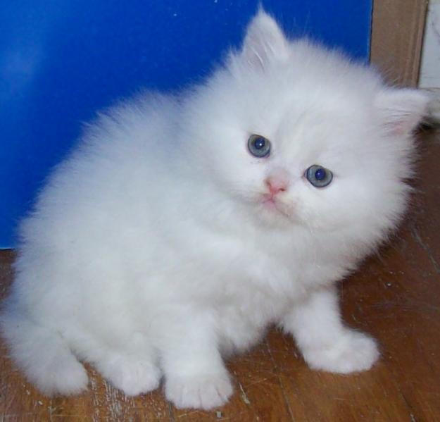Cute Persian Kitten Photos | Cats Creation | Teacup Persian Kittens ... White Teacup Persian Kitten