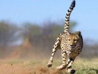 Cheetah – Fastest Land Animal