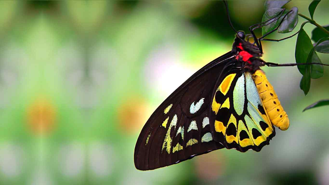 cairns_birdwing_australian_butterfly