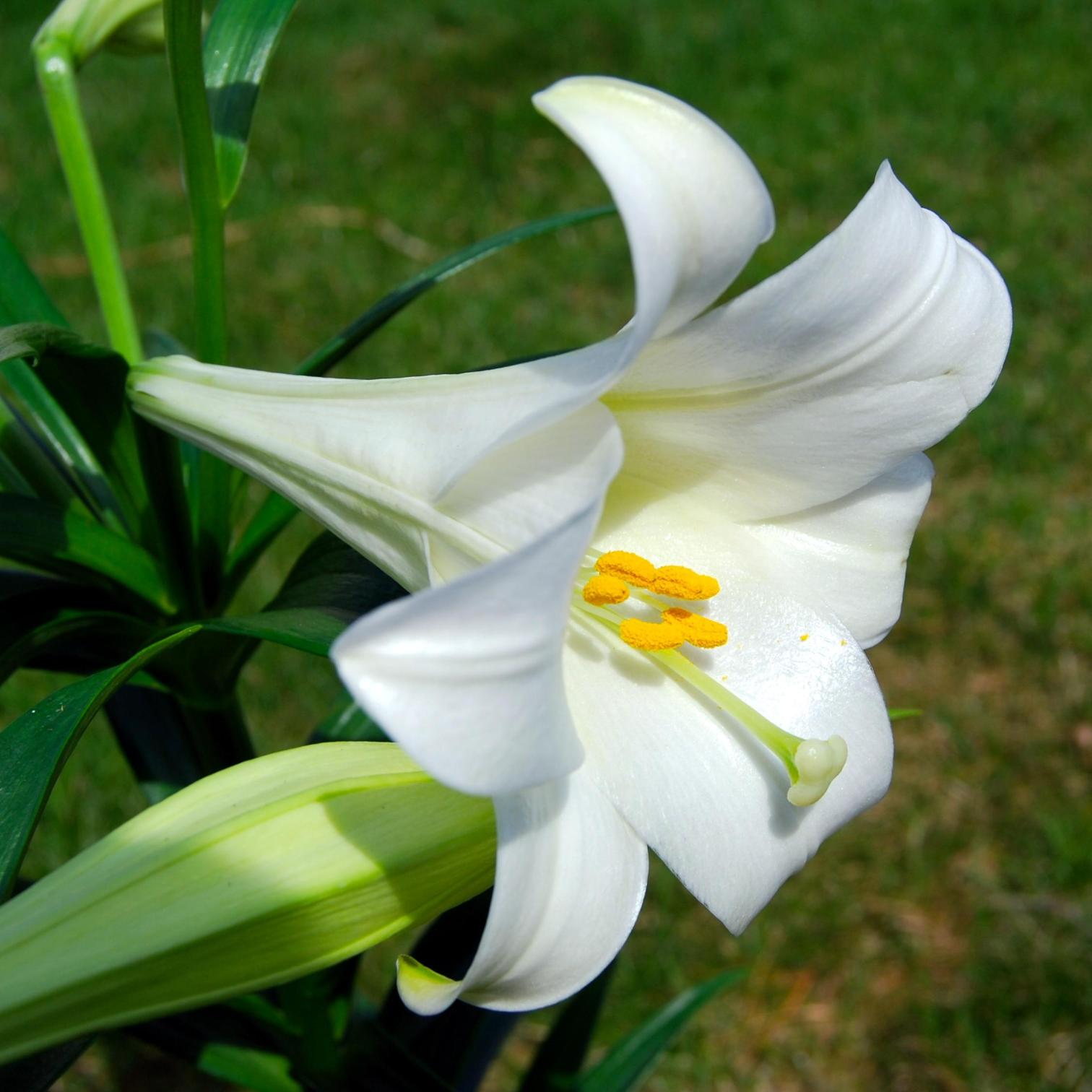 Types Of Lily Names: Beautiful-Lily-Flowers (3)