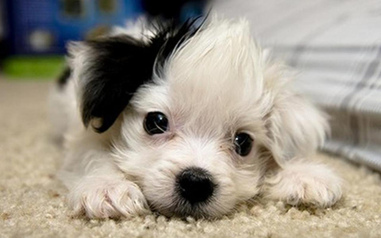 very cute puppies wallpapers viewing gallery