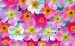 flower-wallpaper (5)