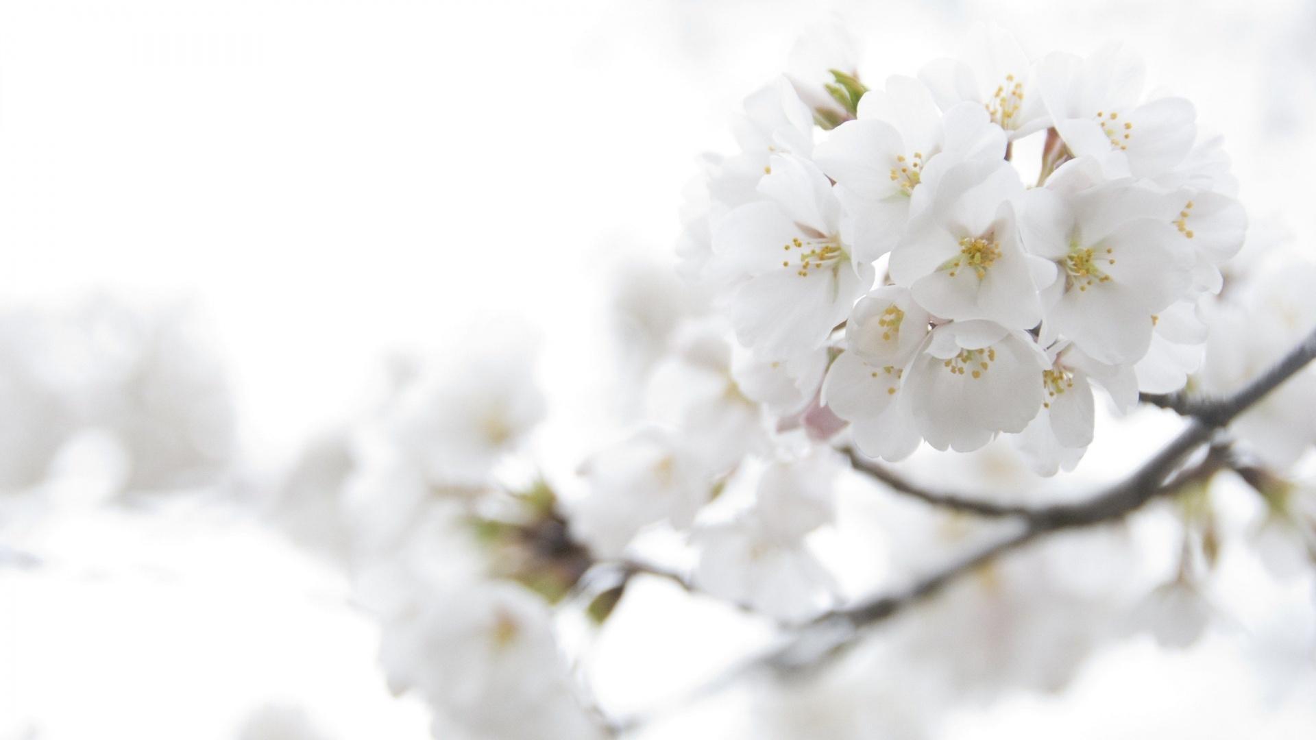 6815757-white-spring-flowers